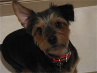 Joey the Yorkie mix: Deer Park, IL